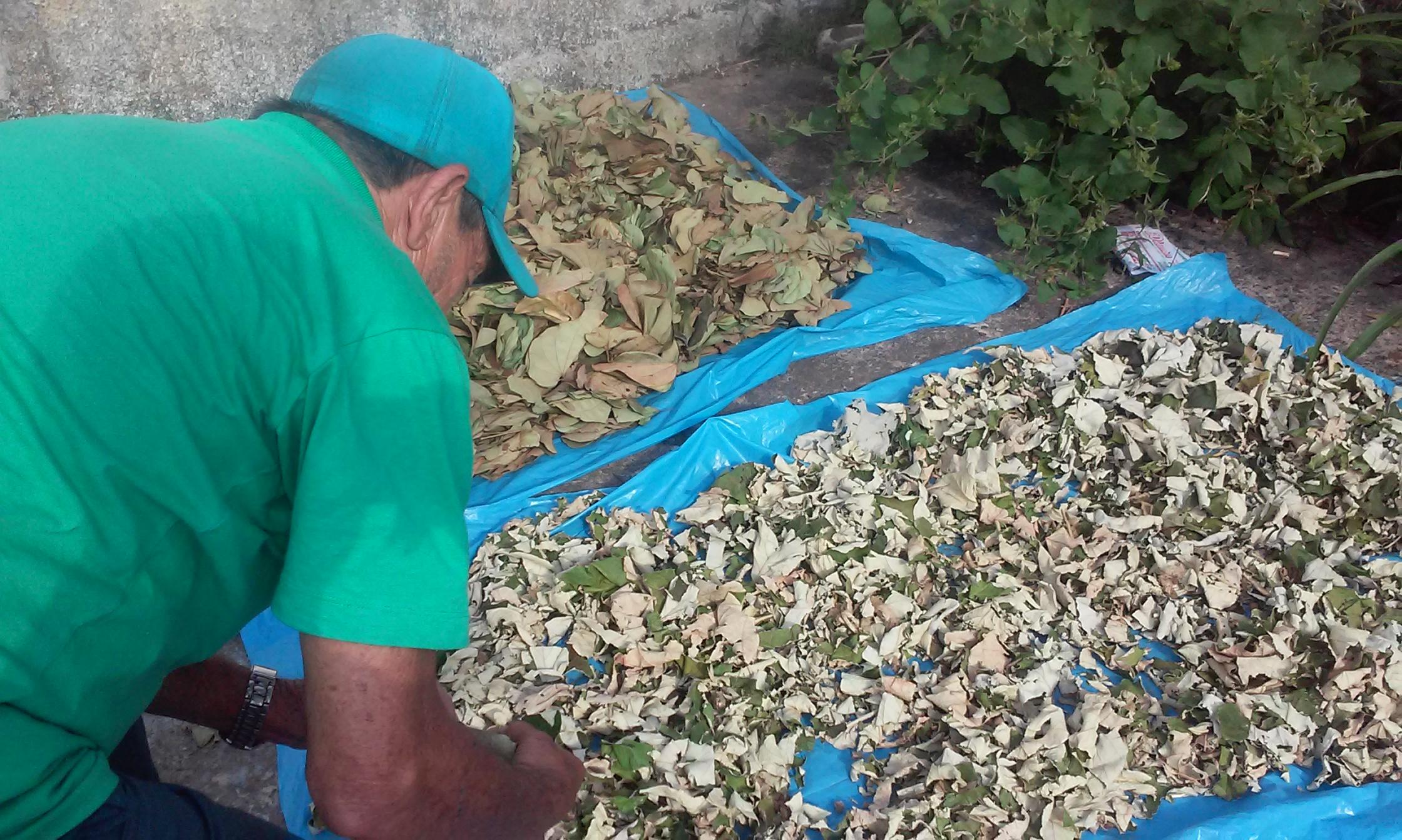 As plantas medicinais são preparadas por Orlando Vicentini antes de serem comercializadas. FOTO/VAN: Scarlet Freitas
